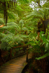 Overwhelmed by ferns. (mathematikaren) Tags: great ocean roadaustralia greatoceanroad australia boardwalk rainforest