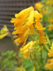 Corydale jaune (L'herbier en photos) Tags: papavraces papaveraceae pseudofumaria lutea corydale jaune yellow corydalis ottignies ottignieslouvainlaneuve brabant wallon wallonie belgique