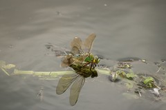 Male Emperor Dragonfly (aaron19882010) Tags: dragonfly floating downstream wildlife nature outdoors outside flying reed male emperor