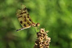 Dragonfly (Le Monsieur de le Coin Bureau) Tags: odonata anisoptera insect