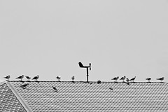 Seagulls' meeting (anmahooo) Tags: seagull blackandwhit black white bw bwphoto canonphotography canon canonphoto canon70300mm 70300mm nature bird birds roof