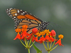 Monarch Loves Butterfly Weed (Vidterry) Tags: monarch butterfly butterflyweed milkweed