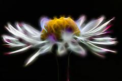 bright daisy (bresciano.carla) Tags: flower nature fractals pentax flickr white light art netartii shockofthenew netart ii special
