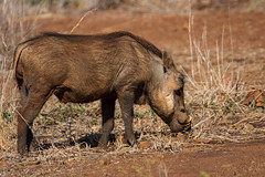 Phacochre (pigosselin) Tags: afrique animaux krugerpark
