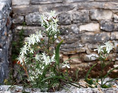 green against stone (haesy) Tags: old croatia istrien romans summer