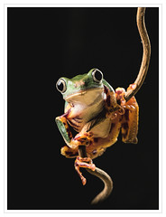 Super Tiger Legged Waxy Monkey Frog On Stick