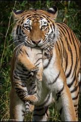 Dasha with cub (SandyLee.Munro) Tags: amurtiger cub baby animal cat kitten dasha ernie bert cats tigres natur nature fantasticnature