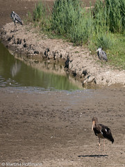 P1030411.jpg (martinahoffmann2) Tags: storch vgel tiere schwarzstorch