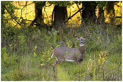 white-tailed buck III (Christian Hunold) Tags: whitetaileddeer whitetailedbuck whitetail buck deer 8pointbuck weisswedelhirsch mammal fall valleyforge pennsylvania christianhunold