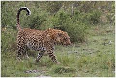 Leopard - Luipaard (Panthera pardus) in de Maasai Mara ... (Martha de Jong-Lantink) Tags: 2011 janvermeer kenia kenya leopard luipaard maasaimara pantherapardus safari