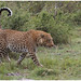 Leopard - Luipaard (Panthera pardus) in de Maasai Mara ...