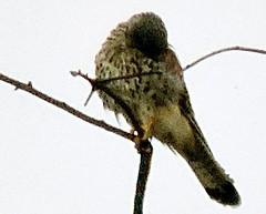 Common Kestrel, Falco tinnunculus (asterisktom) Tags: 2016 trip2016kazakheuro july germany kahl bavaria bayern commonkestrel kestrel falcon falcotinnunculus
