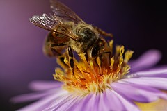 Bee on Aster - Abeille sur Aster (Sbastien Vermande) Tags: canon7d france midipyrnes lot bokeh flower fleur macro t summer nature wild macrophotography insect insecte insectmacro flowerandinsect macrolens macrophotographie sigma150exdg vermande sigmaapoteleconverter2xexdg