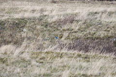 """Mountain Bluebird • <a style=""""font-size:0.8em;"""" href=""""http://www.flickr.com/photos/63501323@N07/16646405494/"""" target=""""_blank"""">View on Flickr</a>"""