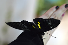 black butterfly (ola_alexeeva) Tags: