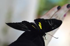 black butterfly (ola_alexeeva) Tags: черная бабочка мучной