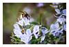Bee Happy (Gabi Monnier) Tags: france canon jour printemps colline provencealpescôtedazur roquefortlabédoule extérieur canon600d gabimonnier lesrouvières