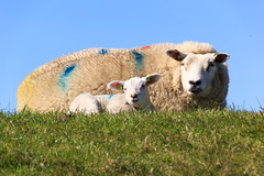 Sheep (RunningRalph) Tags: netherlands sheep nederland lamb texel noordholland schaap lammetje oosterend ijzerenkaap