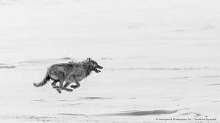 Wolf speed-6124