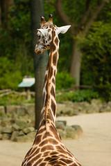 DSC00718 (thade.harms) Tags: animals zoo hannover giraffe
