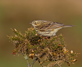 Meadow Pipit - Riding Out The Wind !!