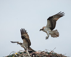 Ospreys (Me in ME) Tags: birds fauna waterfront maine smcc osprey southportland cascobay fortroad southernmainecommunitycollege