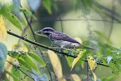Streaked Flycatcher at Selva Iriapu IMG_3154 (grebberg) Tags: bird argentina rainforest december selva fugl iguazu flycatcher 2015 myiodynastes myiodynastesmaculatus streakedflycatcher selvairiapu
