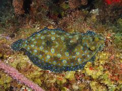 Turbot Paon (denis.fiel) Tags: dominique sole poisson antilles dominica paon turbot carabes mimtisme rcif