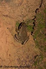 IMG_9387 (Chaitanya Shukla) Tags: india amphibian frog maharashtra leapingfrog ambolimay2015