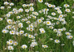 Field Bouquet (jameskirchner15) Tags: flower green nature field whiteflower michigan daisy wildflower oxeye chrysanthemumleucanthemum