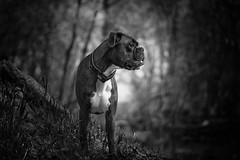 B&W portrait (Tams Szarka) Tags: dog pet animal puppy boxerdog boxer outdoor nature forest blackandwhite