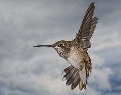 Black-chinned Hummingbird (female) (Eric Gofreed) Tags: arizona blackchinnedhummingbird hummingbird mybackyard sedona villageofoakcreek yavapaicounty