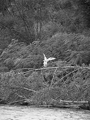 _S927526650 (Rosshox) Tags: naturalphotography natura wildlife action animals animali fujifilm fujifilmxs1 volatili
