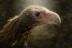 Wedge-tailed Eagle 2016-07-21 (ajhaysom) Tags: wedgetailedeagle aquilaaudax fullflight minersrest ballarat australia australianbirds canoneos6d sigma120400 digitalart