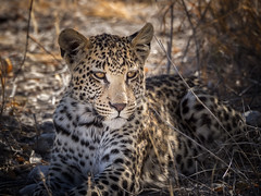 African leopard (loveexploring) Tags: africa africanleopard etosha namibia pantheraparduspardus bigcat bigfive carnivore leopard predator wildlife
