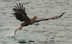 Catching fish with style ! (SindreAHN Photography) Tags: eagle white tailed whitetailedeagle eagles fish wing wings wingstroke sea ocean bird birds birdofprey birdsofprey reflections waves predator eye claws claw haliaeetus albicilla seaeagle nikon sigma d700 150500 sindreahn sindre norway lofoten arctic northern scandinavia nature animals animal catch catching feed food dinner style