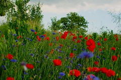 Landscape Red and blue 93 (Hejma (+/- 4500 faves and 1,5milion views)) Tags: uplandmiechowska polish landscape darkclouds poppies cornflowers flowers tree red blue green