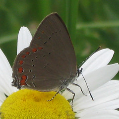 Coral Hairstreak_0197 (Satyrium titus) (agawa2yukon) Tags: algoma