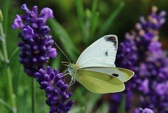 White beauty (Hugo von Schreck) Tags: macro butterfly insect outdoor falter makro insekt schmetterling fantasticnature buzznbugz weissling tamron28300mmf3563divcpzda010 canoneos5dsr hugovonschreck