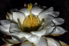Shadow of Your Smile (oybay) Tags: light arizona cactus white flower color macro colors whiteflower cool flora blumen greatshot fiori upclose cactusflower coolshot argentinegiant