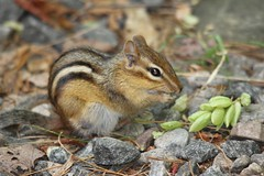 Little Chippy (CCphotoworks) Tags: chipmunk mammals small animals wildlife nature critters outdoors leaves ccphotoworks