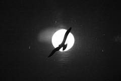 moon and bird (Wackelaugen) Tags: moon fullmoon bird canon eos photo photography wackelaugen googlies black white bw blackwhite blackandwhite mono explore explored
