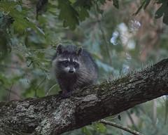 Masked Bandit III (glenda.suebee) Tags: wildlife raccoon masked bandit family summer 2016 ohio glendaborchelt cuteness