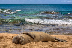 Nap Time (sierrasylvan) Tags: adobe adobebridgecc adobelightroomcc2015 adobephotoshopcc2015 animal beach blue canon canonefs1585mmf3556isusmlens canoneos50d coast filter gray green hawaii hawaiianmonkseal hoya hoyahdcircularpolarizingfilter island kauai kauaicounty makuabeach mammal nature ocean outdoor pacificocean photomatixpro5 sand sea seal seaside shore sky spring tropical tunnelsbeach water white wildlife