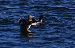 Look at my wings (Luke6876) Tags: australasiangrebe grebe bird animal wildlife australianwildlife
