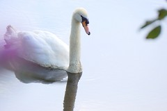 Mute swan (janrs7) Tags: muteswan swan bird white july summer pond water sonyilc6000 sonyemount55210mm