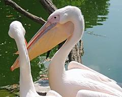 A visit to the pelican (sabrina. G, at holidays) Tags: zoo besuch wilhelma stuttgart ausflug makro