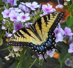 Eastern Tiger Swallowtail Butterfly (AngelVibePhotography) Tags: butterflies garden arthropods macro insects photography nikon nikonp900 northcarolina nature tigerswallowtail closeup insect swallowtail outdoor yellow butterfly