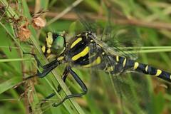gold-ringed dragonfly (Suzie Noble) Tags: goldringeddragonfly dragonfly bog horseshoebog water strathglass struy field