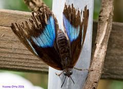 K46A8068 (Yvonne23021984) Tags: schmetterling butterfly hamm germany deutschland maxipark markro photography macrophotography canon canonphotography markofotografy canoneos7dmarkii insects insekten nature naturfotografie naturephotography closeup colorkey schmetterlinge butterflies